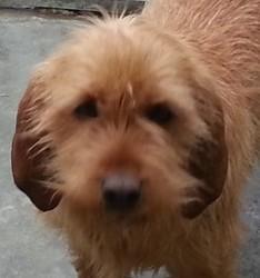 Igor De La Font De L'Arca, chien Basset fauve de Bretagne