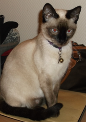 Igore, chat Siamois