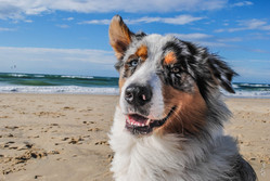 Ihak, chien Berger australien