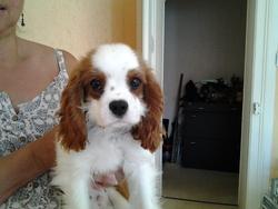 Ihop, chien Cavalier King Charles Spaniel