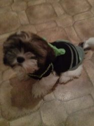 Ihoshy, chien Shih Tzu