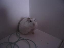 Ihros, rongeur Hamster