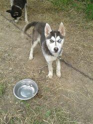Ika, chien Husky sibérien