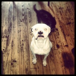 Ika, chien Boxer
