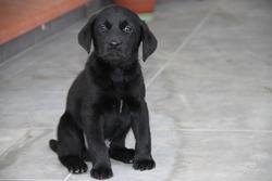 Ikar, chien Labrador Retriever