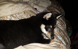 Ikaya, chien Shiba Inu