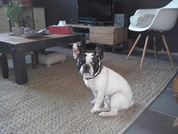 Ike, chien Bouledogue français