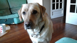 Ike, chien Labrador Retriever