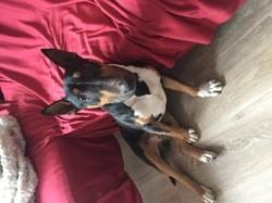 Ike, chien Bull Terrier