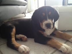 Ike , chien Grand bouvier suisse