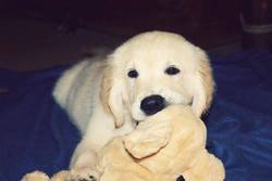 Ike, chien Golden Retriever