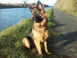 Ike, chien Berger allemand