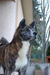 Ikébana, chien Akita Inu