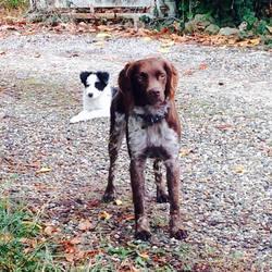 Iker, chien Épagneul français