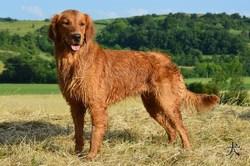Zomarick Lady Ikio, chien Golden Retriever