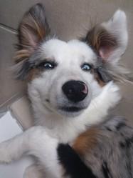Ikki, chien Berger australien