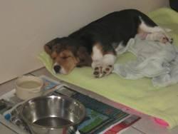 Ikki De L'Ecotay, chien Beagle