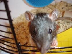 Ikkie, rongeur Rat