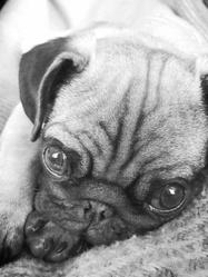 Ikko, chien Carlin