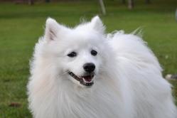 Ikko, chien Spitz japonais