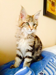 Ikkou, chat Maine Coon