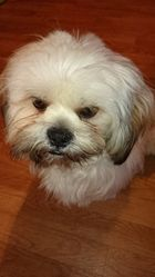 Ikky, chien Lhassa Apso