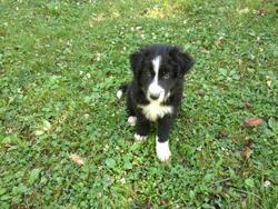 Iko, chien Border Collie