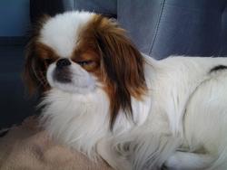 Iko, chien Épagneul japonais