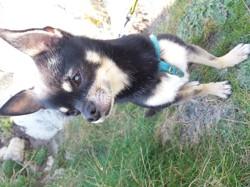 Iko, chien Chihuahua
