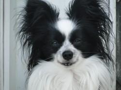 Iko, chien Épagneul nain continental