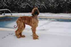 Iko, chien Lévrier afghan