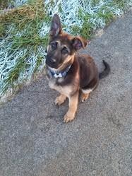 Iko , chien Berger allemand