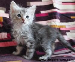 Ikos De La Forêt Verte, chat Angora turc
