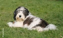 Iksie, chien Berger polonais de plaine