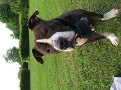 Ikssis, chien American Staffordshire Terrier