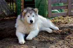 Ikuma, chien Malamute de l'Alaska