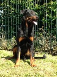 Ilac De L'Ames Des Plaines, chien Beauceron