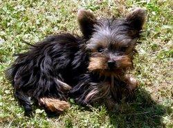 Ilan, chien Yorkshire Terrier
