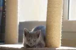 Ilan, chat Bleu russe