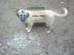 Ilara Fajcort Fd4s, chien Berger d'Anatolie