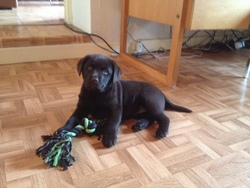 Ilda, chien Labrador Retriever
