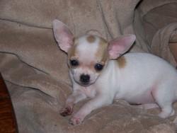 Ilda, chien Chihuahua