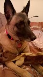 Ilda, chien Berger belge