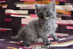 Ile De La Forêt Verte, chat Angora turc