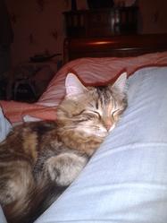 Iléa, chat Norvégien