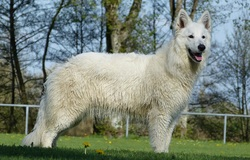 Ileven, chien Berger blanc suisse