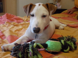 Ileven, chien Jack Russell Terrier