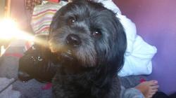 Ilhane, chien Bichon havanais
