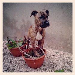 Ilia, chien Dogo canario
