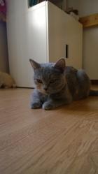 Ilia Du Mont Bleu Des Lilas, chat British Shorthair